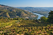 Vineyards on the Douro overlooking the Douro and Peso da Régua, northern Portugal, Portugal
