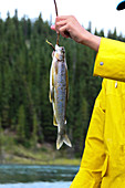 Angler holds freshly caught fish from the Yukon River on the hook, Yukon, Canada