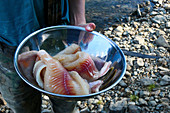 Bowl of fish caught fresh from the Yukon River, ready to grill, Yukon, Canada