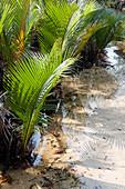 Nipa Palm Trees in the Swamp, A Na Lay Resort, Koh Kood, Koh Kut, Trat, Thailand