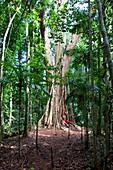 Old Tree, very old big tree in the middle of the rainforest on Koh Kood, Koh Kood, Koh Kut, Trat, Thailand