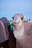 Camel trekking in the Erg Chebbi desert, Erg Chebbi, Merzouga, Errachidia, Morocco