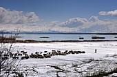 Schafherde am Ufer des Sees, Blick mit schneebedeckten Bergen, Sewansee, Armenien, Asien