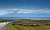 Schafherde an der Hauptstrasse mit Blick auf den Berg Ararat bei Chor Wirap, Armenien, Asien