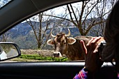 Tourist photographing a cow through the window of the rental car, in the Worotan Gorge near Goris, southern Armenia, Asia MR available: Andrea Seifert