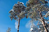 Winterlicher Pinienwald bei Sonnenschein, Heggenes, Norwegen