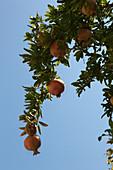 Pomegranate tree with fruits, Zakynthos, Ionian Islands, Greece