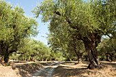 Old olive grove, Zakynthos, Ionian Islands, Greece