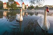 Swans on the Schlossteig in front of the castle Blutenburg. Munich west, district Obermenzing, Munich, Bavaria, Germany, Europe