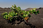 Traditional farming method in the wine-growing region of La Geria in Lanzarote. La Geria, Lanzarote, Canary Islands, Spain, Europe