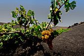 Traditionelle Anbaumethode im Weinanbaugebiet La Geria auf Lanzarote