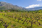 Vineyard and scenery near Gruda on a sunny spring day, Dunave, Croatia, Europe