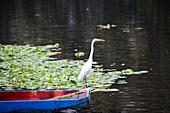 a crane on a colorful boat and aquatic plants at the canals of Xochimilco, Mexico City, Mexico