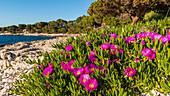 Blumen an der Küste von Dugi Otok, Kroatien
