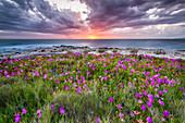 Flowers in the sunset on the coast of Dugi Otok, Croatia