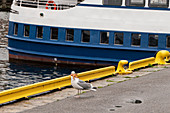 Gull at the harbor in Bergen has caught a starfish. Norway