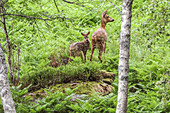 Deer stands with fawn in the fern at the forest edge of Skrelia, Norway.