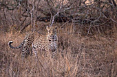 African Leopard (Panthera pardus) in savanna, Kruger National Park, South-Africa, Africa