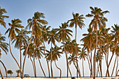 Coconut palm trees on a public beach, Oman