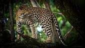 Leopard in einem Baum, Masai Mara, Kenia, Ostafrika, Afrika