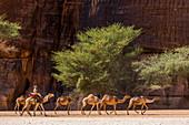 Camel caravan, Guelta d'Archei waterhole, Ennedi plateau, UNESCO World Heritage Site, Chad, Africa