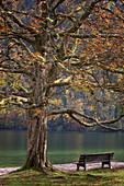 Baum und Bank am Ufer des Königssee, Bayern, Deutschland