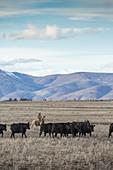 Clouds over rancher herding cattle on horseback, Oregon, USA