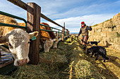 Male rancher feeding cattle with hay during sunny weather, Grass Valley, Oregon, USA