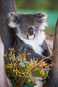 Beautiful nature photograph of single koala (Phascolarctos cinereus), Australia