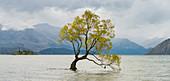 The Wanaka Tree, Lake Wanaka, Otago, South Island, New Zealand, Oceania