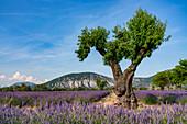 Lavender on the plateau of Valensole, Plateau de Valensole, Provence, France
