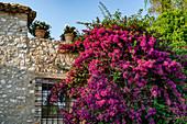 House facade with bouganville (triple flower) in Saint-Paul-de-Vence, Alpes-Maritimes, Provence-Alpes-Cote d'Azur region, France