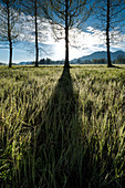 Tree shadows on a meadow with morning dew on the grass in the early morning at Kochel, mountains in the background, foothills, Bavaria, Germany