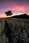 Baum im Kornfeld bei Sonnenuntergang, Voralpenland, Bayern, Deutschland