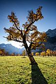 Maple tree in the Ahornboden in autumn, Hinteriss, Tirol, Austria