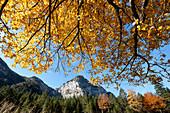 Karwendel Gebirge mit Buche in Herbstfarben im Vordergrund, Hinterriß, Tirol, Österreich