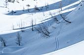Skispuren im Schnee zwischen schräg stehenden Lärchen, Dolomiten, Cortina d'Ampezzo, Belluno, Italien