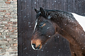 Snow falling over horse