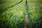 Blue wildflowers growing in idyllic, rural green wheat field