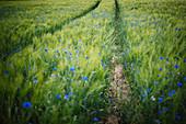 Blaue Wildblumen auf Weizenfeld