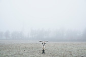 Peacock goat standing in foggy field, Wiendorf, Mecklenburg, Germany