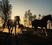 Horses running in idyllic pasture at sunset, Wiendorf, Mecklenburg, Germany