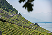 Sunny terraced vineyards with mountain and Lake Geneva view, Epesses, Vaud, Switzerland