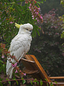 Cockatoo on wooden chair in garden in Katoomba, Australia