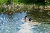 Elch überquert den Fluss in Picabo, Idaho, USA