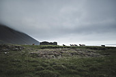Horses by ruin in Iceland