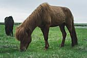 Braunes Pferd auf der Weide, Island