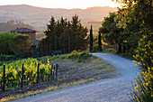 Country Road at Sunset, Toscana, Tuscany, Italy