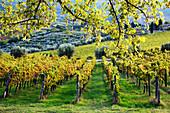 Weinberge und Olivenhaine, Panzano, Toskana, Italien