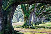 Moosbedeckte Bäume, Louisiana, USA